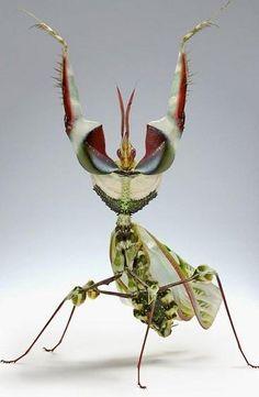 Praying Mantis!