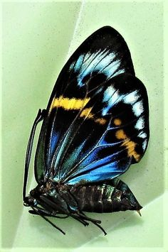 Lot of 10 Gorgeous Day Flying Moth Eterusia repleta Female Folded FAST FROM USA