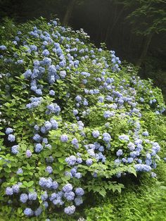 mountains of blue flowers