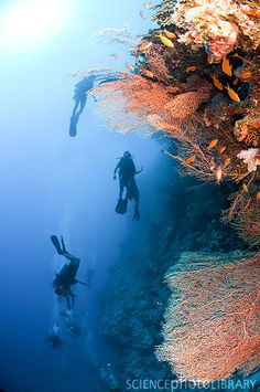 Diving at the Coral Reef / Red Sea, Ras Mohammed - Egypt