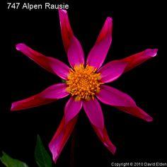 Alpen Rausie  Orchid Dark Red