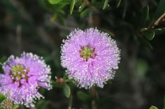 This is natural flower blossoming in Port Campbell