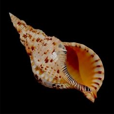 Tideline is one of the top wholesale seashells suppliers in California, USA. Being a leading shells wholesaler, we offer coral decor & seashells for sale in USA. Seashells For Sale, Labyrinth, Shell Shock, Ocean Life, Marine Life, Sea Creatures, Under The Sea, Beautiful Creatures, Sea Glass