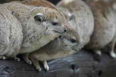 Rock Hyrax, Serengeti, Tanzania by To Africa Tours Staff