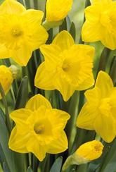 Great offers & range of Flowers & Plants, Vegetable Plants, Vegetable & Flower Seeds & Seed Potatoes plus Wild Bird Food and Gardening Accessories from Marshalls. Narcissus Bulbs, Daffodil Bulbs, Bulb Flowers, Daffodils, Tulips, Spring Flowering Bulbs, Spring Bulbs, Perennial Bulbs, British Garden