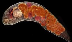 Trematode are leaf-shaped flatworms also known as flukes. They are parasitic during nearly all of their life-cycle forms. The cycle begins when larvae are released into freshwater by infected snails.