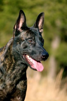 Tommy Haus Berry D ( Dutch Shepherd ) www.EastTNK9.com