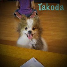 Meet Takoda, an adoptable Pomeranian looking for a forever home. If you're looking for a new pet to adopt or want information on how to get involved with adoptable pets, Petfinder.com is a great resource.