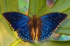 Tropical Charaxes Butterfly photographed by:  Darrell Gulin