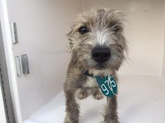 11/29/16-HOUSTON - HIGH KILL FACILITY - ALL DOGS URGENT DUE TO OVERCROWDING  This DOG - ID#A473161  I have a rescue group interested in me.  I am a male, brown and gray Schnauzer - Standard mix.  The shelter staff think I am about 4 months old.  I have been at the shelter since Nov 29, 2016.  This information was refreshed 50 minutes ago and may not represent all of the animals at the Harris County Public Health and Environmental Services.