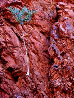 Ghost Gum clings to the walls of Redbank Gorge MacDonnell Ranges Northern Territory Australia by headlessmonk, via Flickr