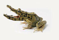 Its a crocodile frog hybrid of a frocodile!