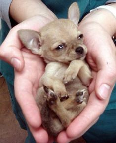 Effective Potty Training Chihuahua Consistency Is Key Ideas. Brilliant Potty Training Chihuahua Consistency Is Key Ideas. Baby Chihuahua, Chihuahua Clothes, Cute Baby Animals, Animals And Pets, Funny Animals, Cute Puppies, Cute Dogs, Dogs And Puppies, Doggies