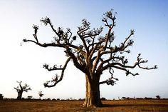 Little baobab tree.