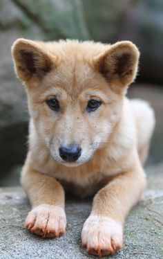 Two pups, named Daku and Mirri, are pure-breed Alpine Dingos born on March 13, 2011 at the Australian Dingo Conservation Association in New South Wales.