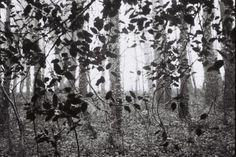"""Photo """"ClosetoNatureII"""" by PensPhotoArt Shot on Pentax Camera 35mm Black and White Film Mist in the Woods, West Wales"""