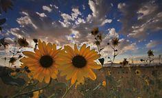 Sunflowers by RobsWildlife.com  - Rob Daugherty, via 500px