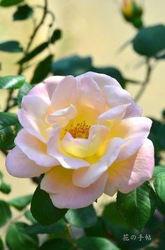 Rose ドクターエッケナー