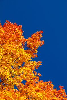 Sugar maple. I can literally remember all of the autumn days that the sky would be so clear and noticing the warm, vibrant colors of a maple tree. We are thankful for this.