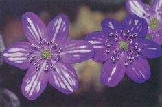 The simplest flower shape of Hepatica nobilis var. japonica is one called Hyoujunka (Pacific Horticulture)