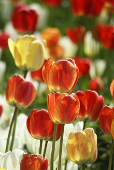 Beautiful Tulips - Plant in the fall, enjoy in the spring. Flower Petals, Flower Beds, Cut Flowers, My Flower, Wild Flowers, Lily Bloom, Bloom Blossom, Planting Tulips, Spring Bulbs