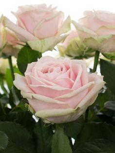 Die Sweet Avalanche Rose ist eine besonders edele Rose. Sie blüht in einem zarten Rosaton und ist eine beliebte Rose für die Hochzeitsdekoration. …