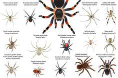 Spiders #vector #animal #spider #arachnid #araneid #arthropod #insect #carnivore #wild #wildlife