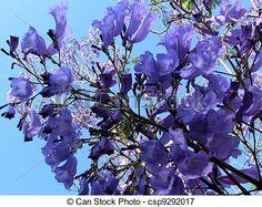 Stock de fotos o, YEHUDA, Jacaranda, flor, 2011- - Imagenes almacenadas, imágenes, fotografias libres de derechos, inventario de fotografo, inventario de fotografos, retrato, retratos, grafico, graficos