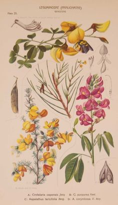 Leguminoseae Papilionatae Genisteae Plate 25 by Rudolph Marloth. The print was published as part of a set on the flora of South Africa. Print size is 11 by 8 inches. Rudolf Marloth (1855 – 1931) was a German-born South African botanist, pharmacist and analytical chemist, best known for his work on the Flora of South Africa which where published between 1913 and 1932. The set of prints we have where the group published in 1925 by Darter Bros & Co in Cape Town South Africa. Art Journal Challenge, Cape Town South Africa, Vintage Botanical Prints, Chemist, Is 11, Prints For Sale, Flora, German, Plate