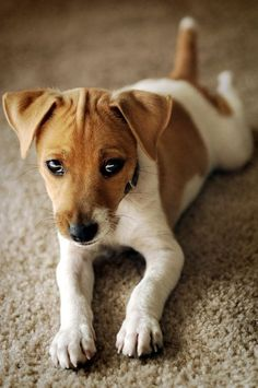 Adorable Jack Russell Terrier Dog
