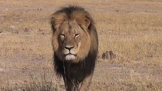 Justice for Cecil the iconic collared lion slaughtered by trophy hunter in Zimbabwe!