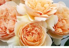 Sweet Juliet roses. Lightly cupped, repeat flowering blooms (50-100 petals) are a delicate pale peach. Vigorous, upright, graceful plants. 4 feet tall. Zones 5-10. RIR=7.6.