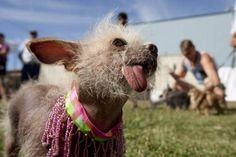 Ten of the most bizarre pictures from the World's Ugliest Dog contest. Pretty Animals, Animals Beautiful, Pitbull, World Ugliest Dog, Ugliest Dog Contest, Ugly Dogs, Laide, Bizarre Pictures, Chinese Crested Dog