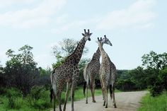 """Kruger National Park South Africa in photos.  [caption id=""""attachment_23538"""" align=""""aligncenter"""" width=""""720""""]"""