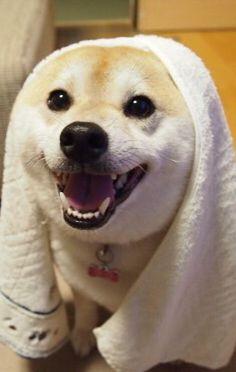 Shiba in a towel