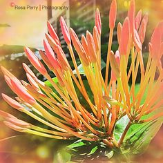 Orange Hues #brisbane #gardens #iphone #iphoneography #photo #mobile
