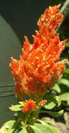 Kakasvirág sárga