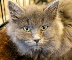 Sonya is an adoptable Domestic Long Hair - Gray And White Cat in Atlanta, GA. Hi, my name is SONYA! I am a sweet girl who likes to cuddle and be pet. If you would like more information or an applicati...