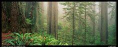 Ferns and trees in fog. Redwood National Park (color)