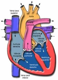 cardiology cardiovascular heart research Nursing Tips, Nursing Notes, Heart Anatomy, Medical Anatomy, Human Anatomy And Physiology, Medical Coding, Medical Field, Medical Information, Body Systems