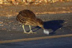 Fledgling (Black Crowned Night Heron)