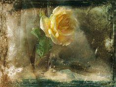 yellow rose by Dzintra Regina Jansone