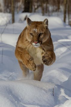 Cougar in snow. The cougar (Puma concolor), also known as the mountain lion, puma, panther, painter, mountain cat, or catamount, is a large cat of the family Felidae native to the Americas. Secretive and largely solitary by nature, it is the second heaviest cat in the New World, after the jaguar.