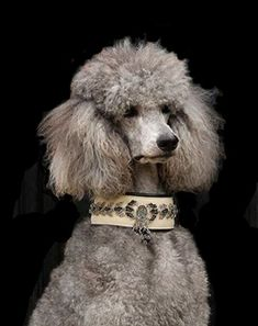 ♔ French poodle
