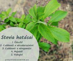 Stevia, jázminpakóca (Stevia rebaudiana) - GyógyfüvesKertem Stevia, Cantaloupe, Herbs, Fruit, Plants, Food, Eten, Herb, Planters