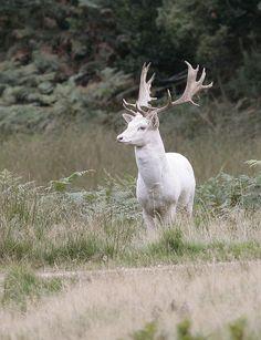 White Fallow Deer -