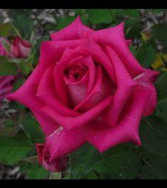Pretty Flower Landscape In Garden Beautiful Rose Flowers, Beautiful Gardens, Mini Roses, Red Roses, Organic Gardening, Gardening Tips, Vertical Garden Diy, Vertical Gardens, Flower Landscape