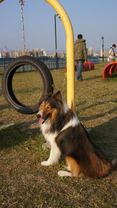 Sheltie at the Park