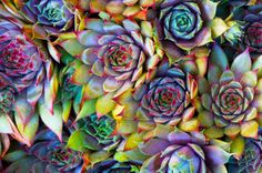 How to Grow Hens and Chicks Plant These colors are incredible!