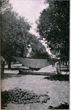 "Cosecha de naranjas  Fuente: Tassart, E. Informe sobre plantas del género ""citrus"" en la provincia de Corrientes. En: Boletín del Ministerio de Agricultura, t. 17(2), febrero de 1914"